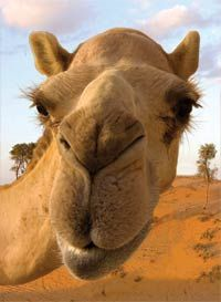 Full frontal closeup biew of a camel's face. Image found on Google