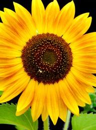 Sunflower via Pinterest