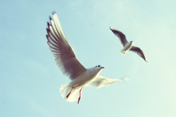 Photo of Two Doves in flight by Oliver Berghold