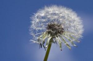 solitary dandelion seed head against a dark blue sky